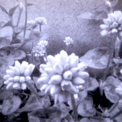 Matsuhana